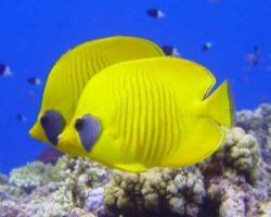 yellow-fish-1500x430